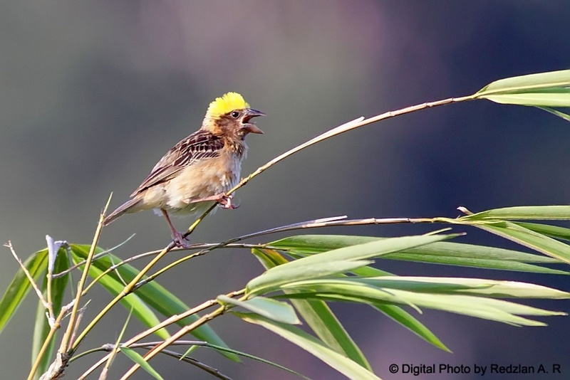 Yellow Cap - Male  Baya Weaver