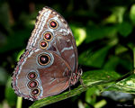 Title: Blue Morpho Butterfly Camera: Canon 5D Mark11