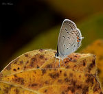 Title: Eastern Tailed Blue (Everes comyntas)