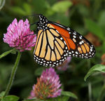 Title: Monarch (Danaus plexippus)Canon 5D Mark11