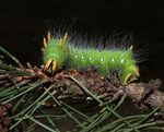 Title: Imperial Moth Caterpillar