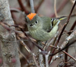 Title: Ruby-crowned Kinglet (male)