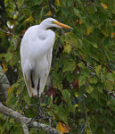 Title: One legged Great Egret?