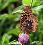 Title: Great Spangled Fritillary
