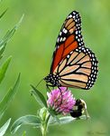 Title: Monarch and Bumble Bee