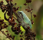 Title: Gray Tree Frog