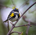 Title: Yellow-rumped Warbler (Myrtle)Canon 5D Mark III