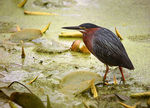 Title: Green Heron (adult)