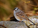 Title: White-crowned Sparrow