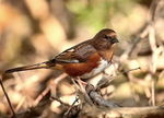 Title: Eastern Towhee (Female)