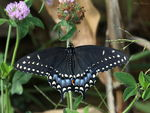 Title: Black Swallowtail (Papilio Polyxenes)