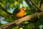 Title: Prothonotary Warbler