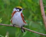 Title: Chestnut-sided Warbler