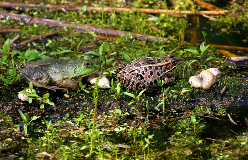 Bullfrog and Northern Leopard Frog