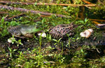 Title: Bullfrog and Northern Leopard Frog