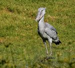 Title: Shoebill (Balaeniceps rex) Camera: Canon 5D Mark III