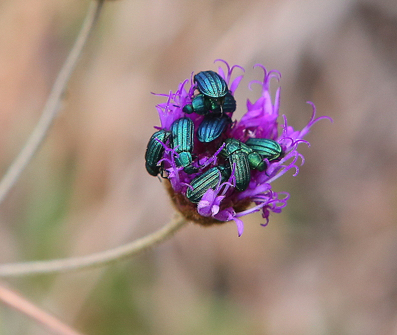 Metallic colored Beetles