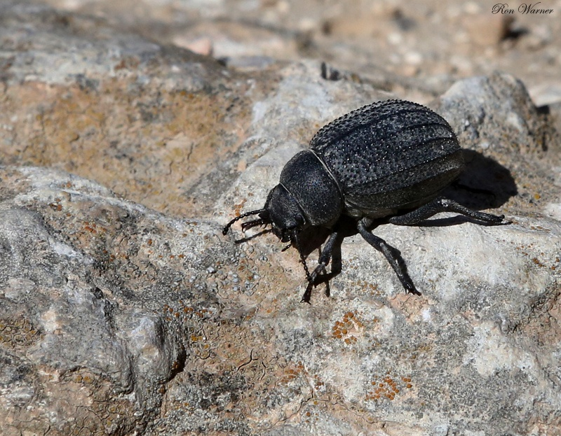 Darkling Beetle ?