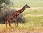 Title: Giraffe Camera: Canon 5D Mark III