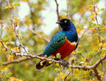Title: Superb Starling (Lamprotornis superbus)