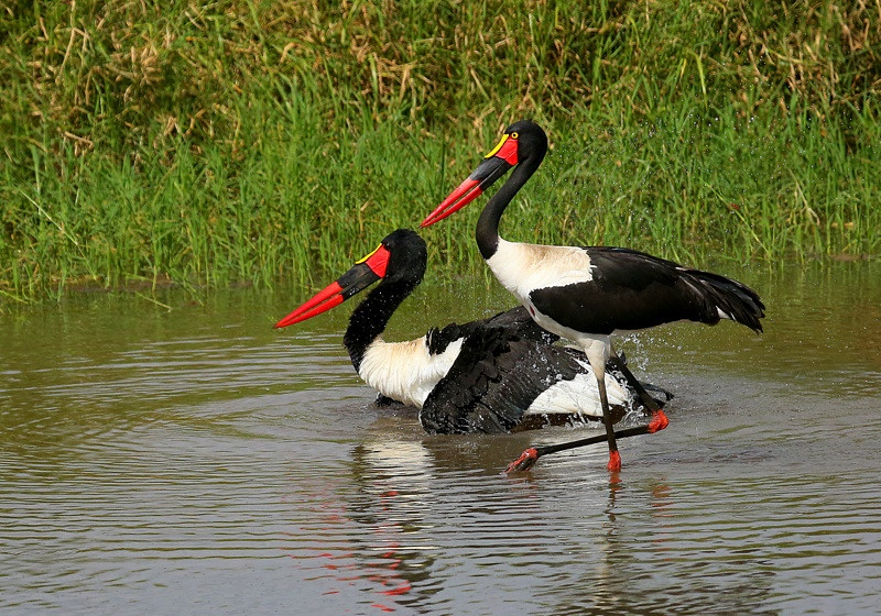 Saddle-billed Storks (Male and Female)
