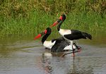 Title: Saddle-billed Storks (Male and Female)