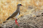 Title: Crowned Plover (Lapwing)
