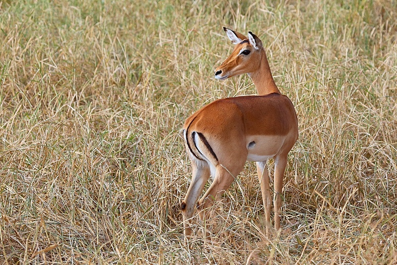 Impala (Female and young Male)