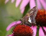 Title: Silver Spotted Skipper