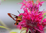 Title: Hummingbird Clearwing Moth