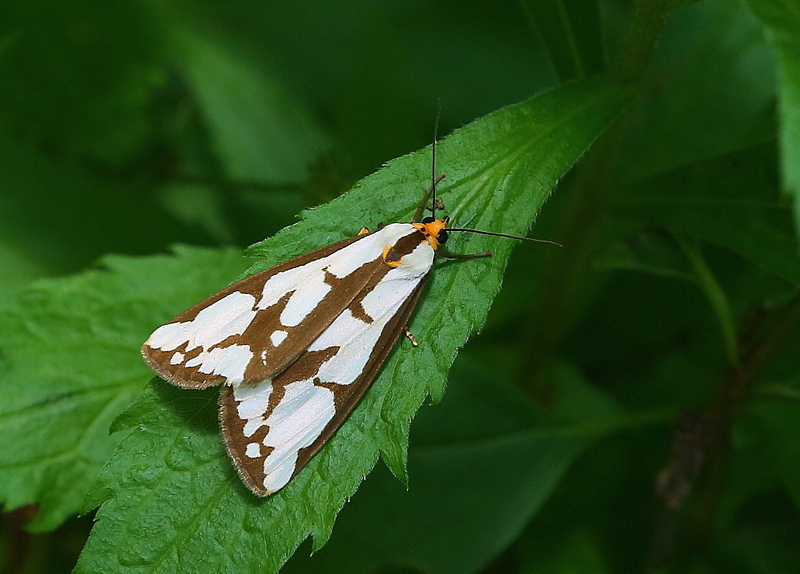 Tiger Moth (Confused Haploa)