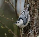 Title: White-breasted NuthatchCanon 5D Mark III