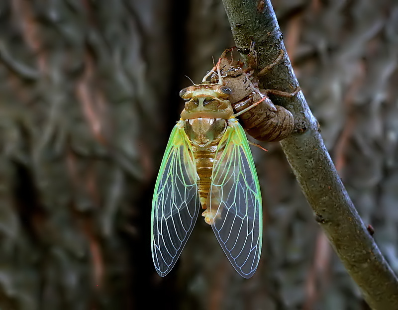 Superb Dog-Day Cicada