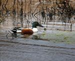 Title: Northern Shoveler (Male)