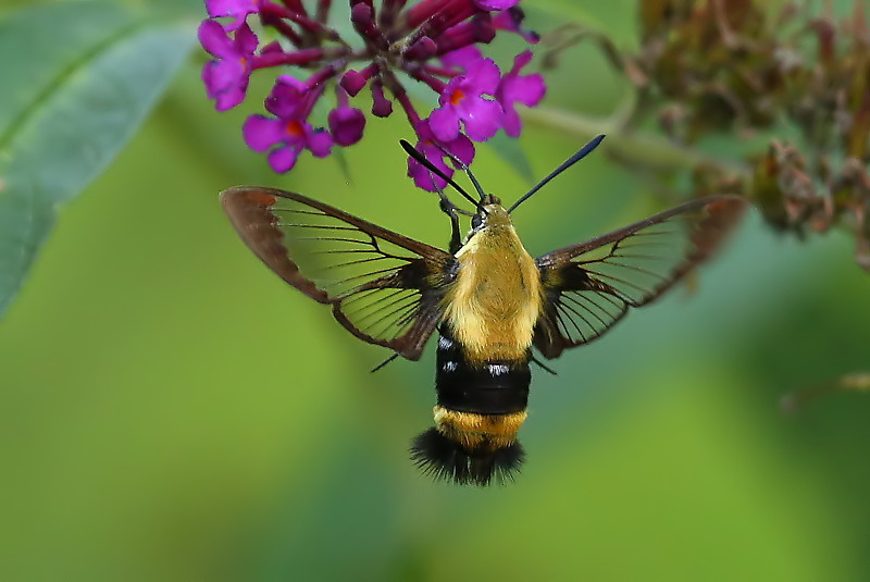 Snowberry Clearwing (Bumblebee Moth)
