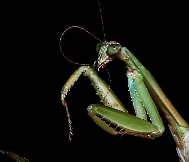 Praying Mantis (cleaning its antenna)