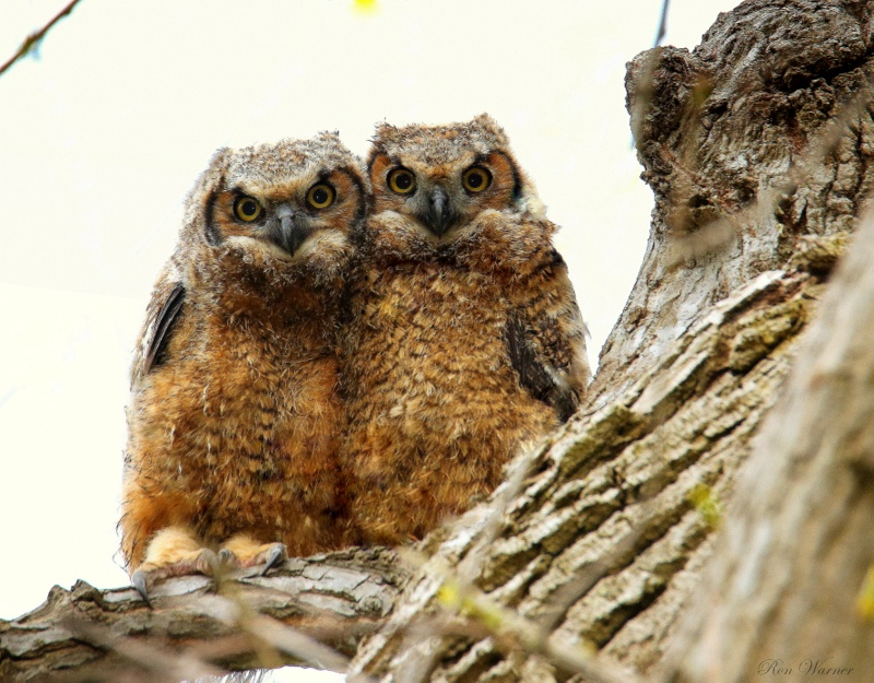 Great Horned Owl owlets