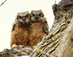 Title: Great Horned Owl owlets