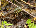 Title: Green Frog (Rana clamitans melanota)