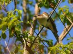 Title: Black-billed Cuckoo