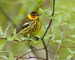 Title: Cape May Warbler (Male)