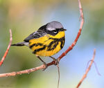 Title: Magnolia Warbler (Male)