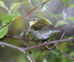 Title: Tennessee Warbler