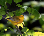 Title: Yellow Warbler (Male)