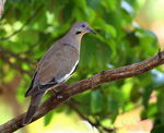 Title: White-winged Dove