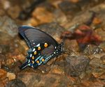 Title: Pipevine SwallowtailCanon 5D Mark III