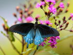 Title: Pipevine Swallowtail (Battus philenor)