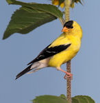 Title: American Goldfinch (Male)Canon 5D Mark11