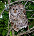 Title: Barred Owl (Strix varia)Canon 5D Mark11