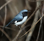 Title: Black-throated Blue Warbler (Male)